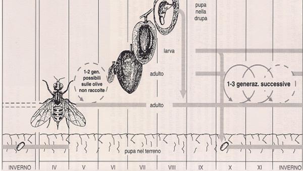 Illustrazione del ciclo biologico della mosca