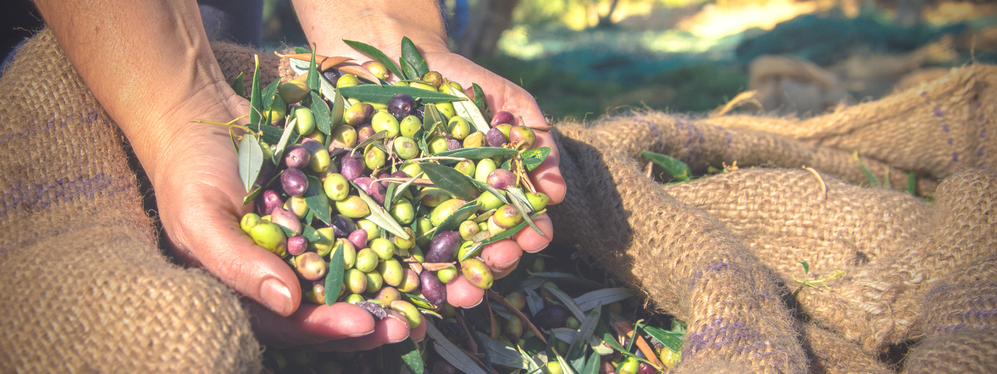 The advantage of an agtech platform for olive grove management