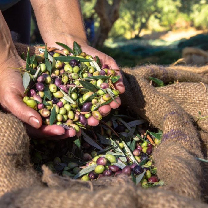 I vantaggi di una piattaforma agtech per la gestione dell'oliveto