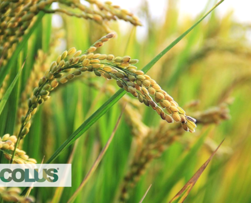 focus on wheat