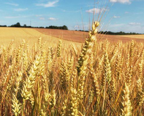 campo di grano per rubrica agrifood