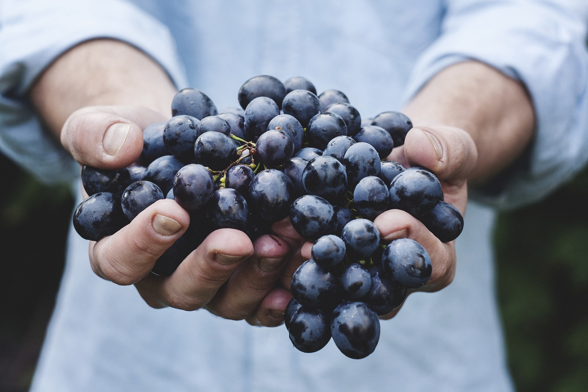 Grape ripening: when the best time to harvest?
