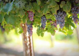 maturazione dell'uva