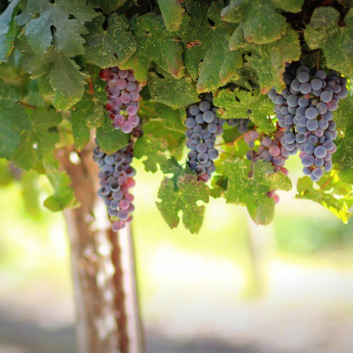 Indici di maturazione dell'uva: un aiuto per la gestione intelligente del vigneto