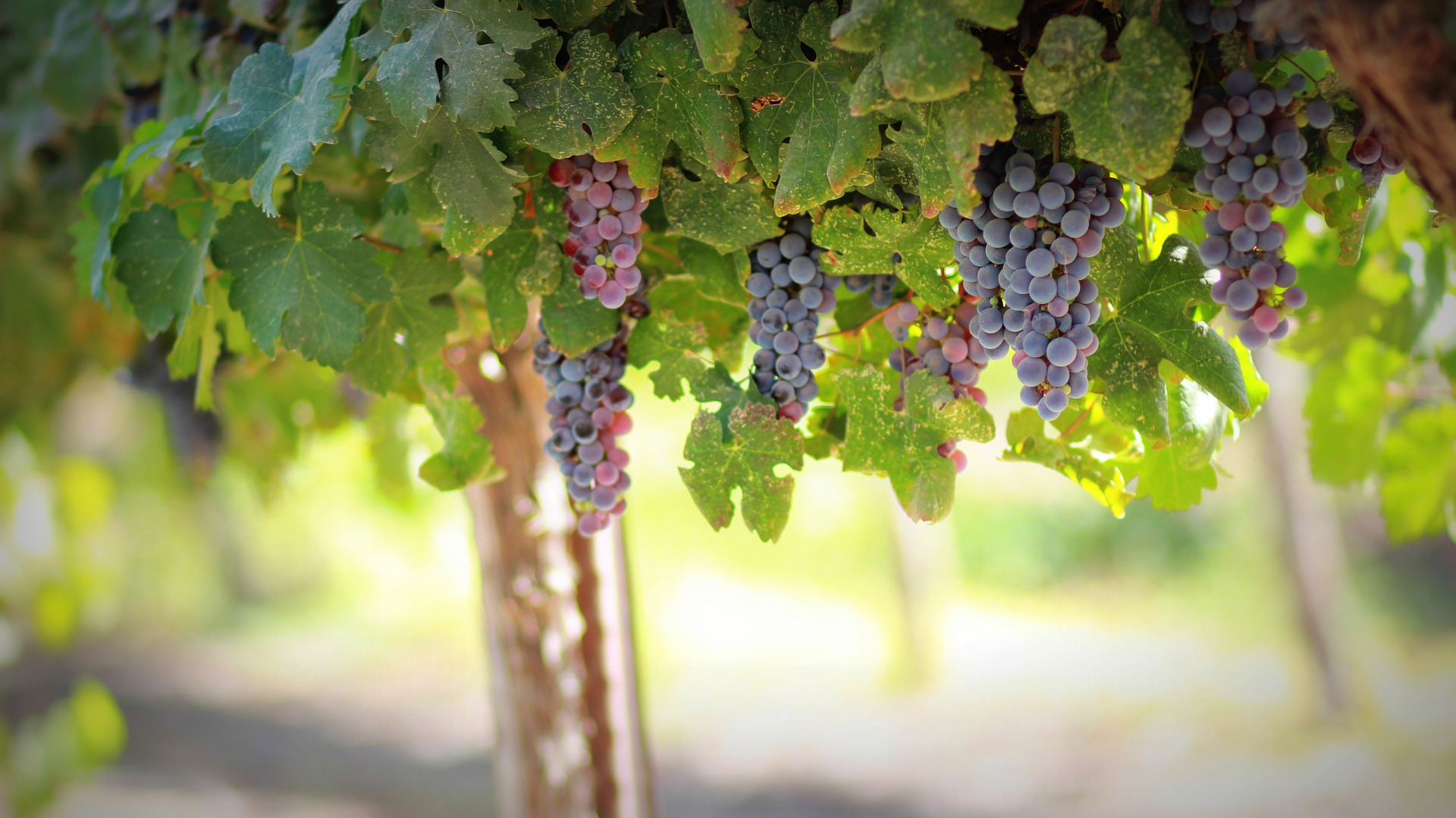 Grape ripening indices for smart vineyard management