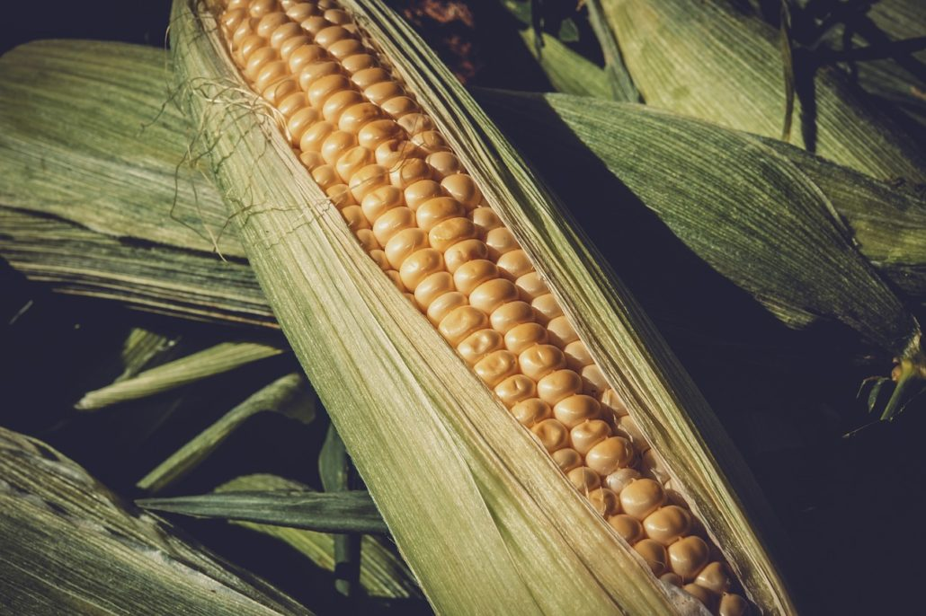 Agricolus for maize