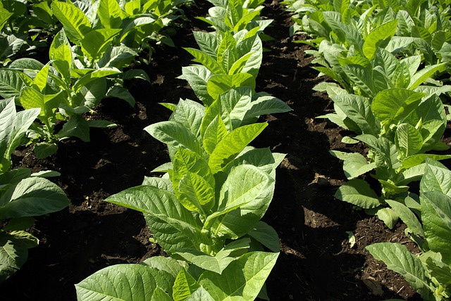 The agronomic management of tobacco