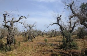 oliveto colpito da xylella