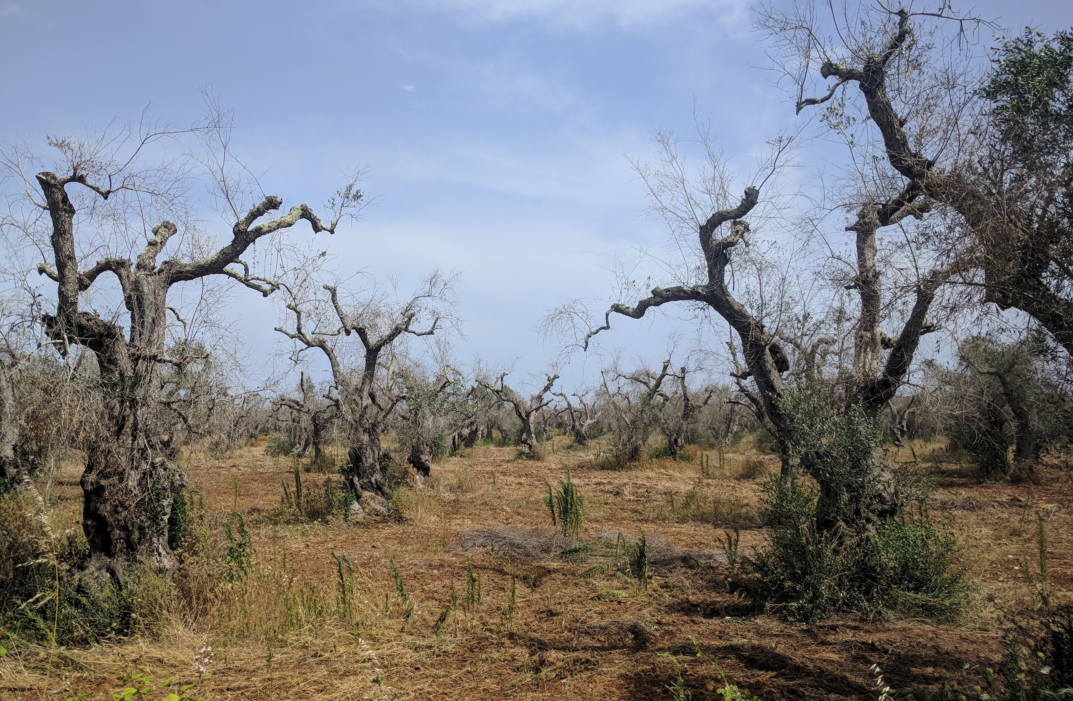 Xylella fastidiosa: an insight on this great problem