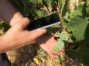 Technician in vineyard with mobilephone
