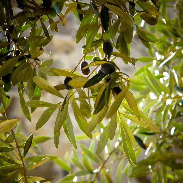 Come combattere la mosca dell'olivo con i modelli previsionali