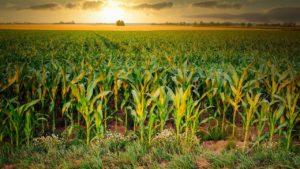 Growing maize field