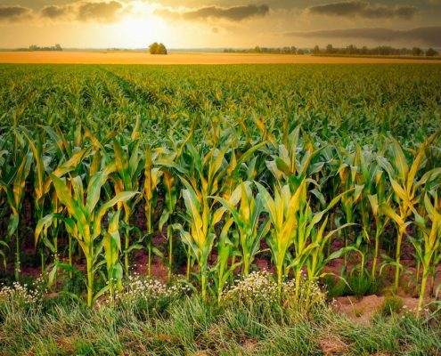 Growing maize field
