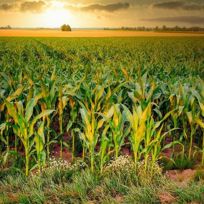 Strumenti agtech: un motivo in più per coltivare mais