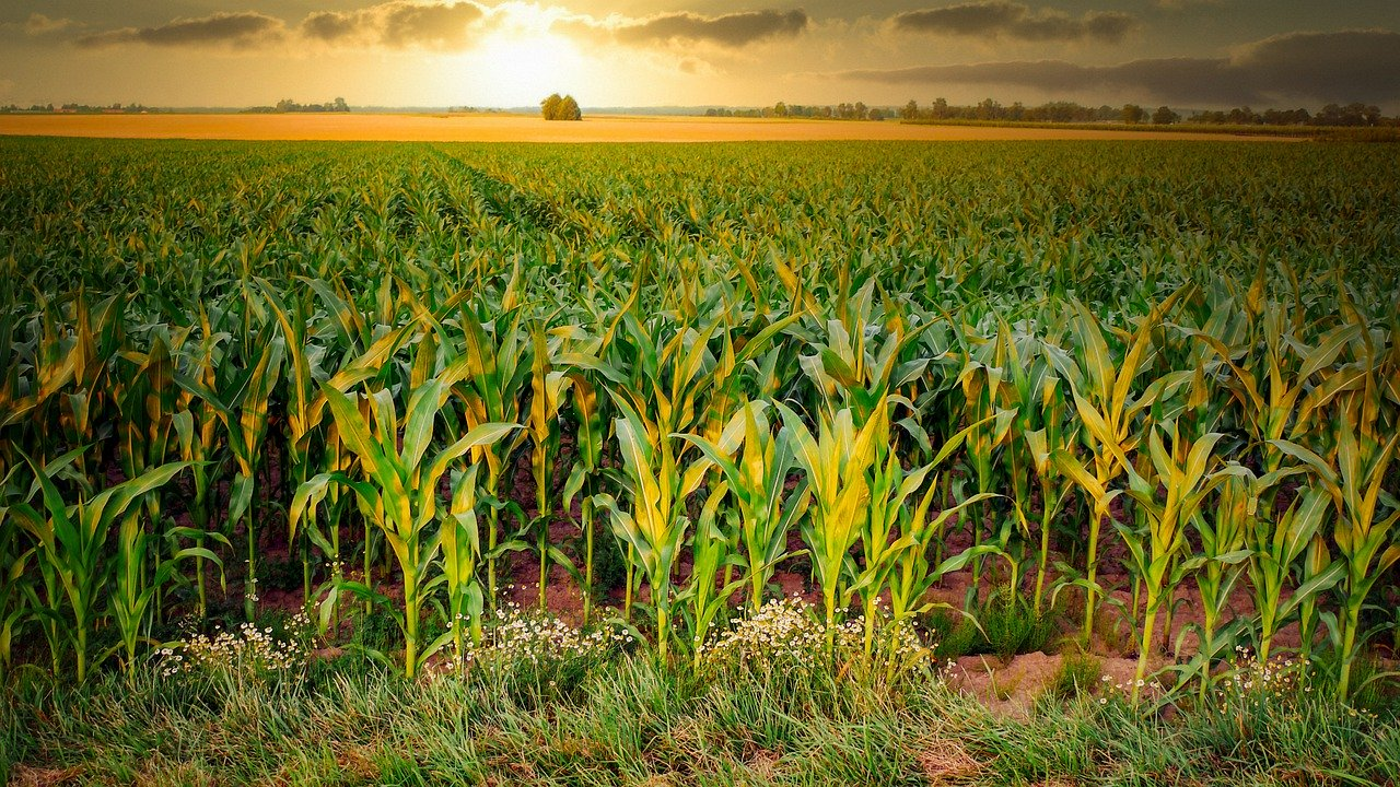 Agtech tools: one more reason for growing maize
