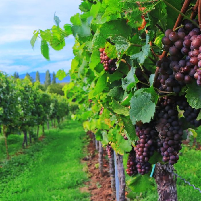 Climate risks in the vineyard: how to face them?