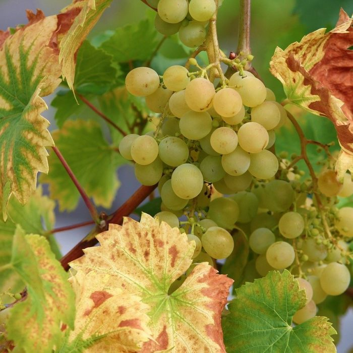 Vector insects in the vineyard: what kind of damage can they cause?