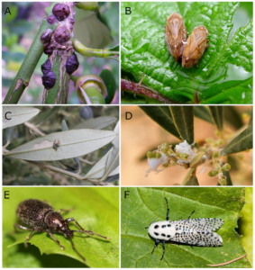 Olive insects
