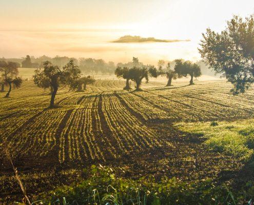 Panoramica oliveto