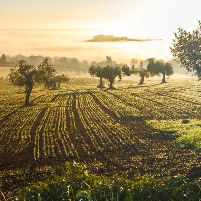Insetti dannosi per l'olivo: una carrellata