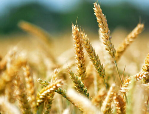 The tools of Agriculture 4.0 for managing wheat
