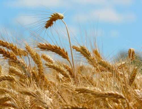Agricolus per frumento e orzo: una nuova soluzione