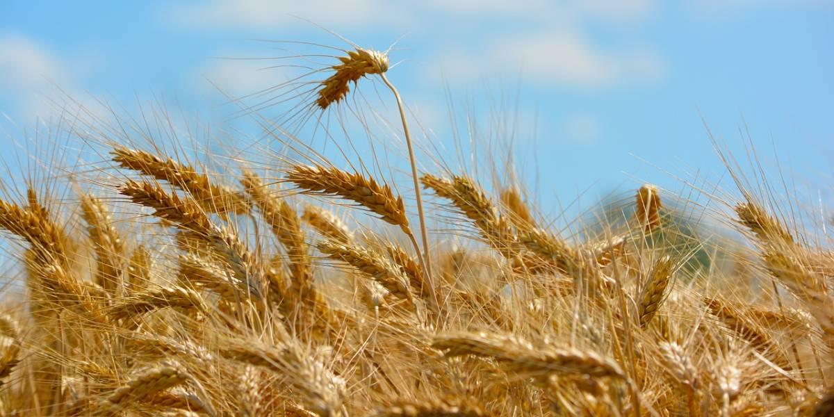 Campo di grano in primo piano